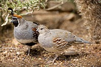 Gambel's Quail (Callipepla gambelii) _ Male(behind) and female(front) _  Arizona _ Replaces the California Quail in the desert and similar to that bir...
