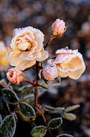 Flower bed, rose blooms, hoarfrost   Plants, flowers, roses, blooms, ring, ice crystals, icy, freezes over, frostily, cold, season, autumn, nature, na...