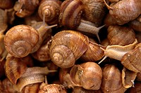 Snails   Animals, snails, living, shells, food snails, mass breeding, food, food, delicacy, specialty, concept, culinary, palate joy, close-up, Backgr...