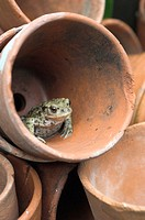 Common Toad (bufo bufo), in terracotta flower pot. Norfolk, UK