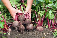 Gardener pulling up a garden crop of Beetroot, Norfolk, UK