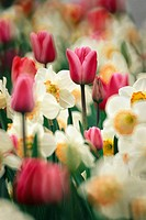 Flower bed, tulips, daffodils, blooms,  Fuzziness  Garden, bed, flowers, blooms, differently, bloom sea, bloom splendor, season, spring, spring, in th...