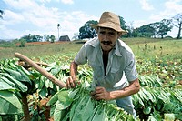 Cuba, Valle de Vinales, Tabakplantage, Workers, tobacco harvest,  Central America, close to Pinar Del Rio, plantation, cultivation tobacco tobacco-pla...