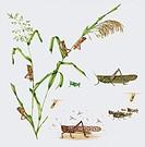 African desert locust Schistotecera gregaria on Proso millet Panicum miliaceum, artwork  The desert locust is a significant agricultural pest in Afric...