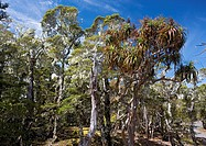 Mountain grass tree Dracophyllum traversii  Situated in Southern beech dominated, high altitude forest, Arthur Range, South Island, New Zealand