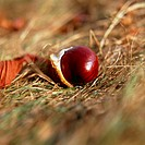Fallen seedpod of horse-chestnut Aesculus hippocastanum revealing nut conker within