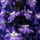 Delphinium flowers Delphinium sp