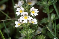 Common eyebright Euphrasia nemerosa