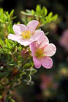Potentilla fruiticosa ´Pink Beauty´ flowers