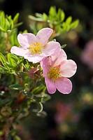 Potentilla fruiticosa ´Pink Beauty´ flowers