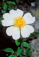 Evergreen rose flower Rosa sempervirens