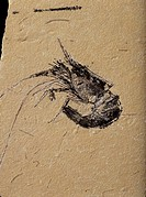 Fossil shrimp  Its head is at upper centre, above its tail  Fossils appear as rock slowly forms around objects buried in mud  As the rock forms, the s...
