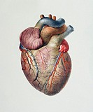 Heart  Historical anatomical artwork of the human heart, seen from the front  Coronary blood vessels are seen on the surface of the heart, supplying t...