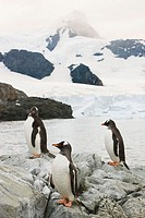 Gentoo penguins Pygoscelis papua on rocks  The gentoo penguin grows up to 70 centimetres tall and can weigh up to 6 kilograms  It feeds on plankton, f...