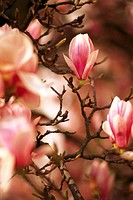 Magnolia blooms,    Tree, shrub, branches, plant, magnolia, magnolia tree, Magnolia, vegetation, spring, blooms, pink, blooms, buds, petals, erblühen,...
