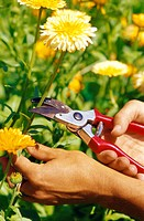 Garden, person, detail, hands, flowers, cuts off, summer,  Leisure time, hobby, gardening, garden care, bed, woman, women hands, garden tool, cuts gar...