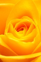 Rose, yellow, bloom, close-up,    Plant, flower, garden flower, ornamental plant, slice flower, rose bloom, petals, order, nature, Floristik, concept,...