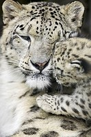 Zoo, snow leopards, Unica unica, Dam, young, portrait, truncated,   Series, , wildlife, animals, wild animals, mammals, carnivores, big cat, Irbis, K&#228;...