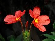 Scientific Name : Crossandra infundibuliformis. Family : Acanthaceae. Common Name : Aboli, Kanakambaram. Aalim wadi, Paratawane, Ratnagiri, Maharashtr...