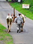 A farmar carrying a pair of bulls and a plough. Nilkantheshwar, Pune, Maharashtra, India