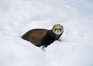 Polecat, Mustela putorius, snow,