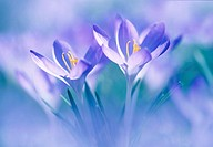 In the spring crocuses, Crocus albiflorus, verfremdet,