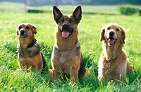 Meadow, dogs, races, different,  Group picture,   Animals, mammals, pets, accompanying dogs, race dogs, German shepherd, golden Retriever, half-breed,...