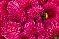Dahlias, blooms, pink,    Plants, flowers, garden flowers, ornamental plants, ornament flowers, composites, summer flowers, bloom heads, petals, pink,...