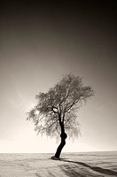 , Betula pendula, back light,  Winters, s/w,   Series, landscape, winter landscape, tree, deciduous tree, plant, bog birch, birch, leafless, snow-cove...
