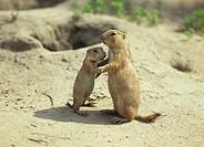 Black tail prairie dogs, Cynomys ludovicianus,