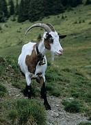 Pinzgauer goat