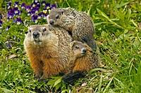 Woodchuck (Marmota monax), Groundhog