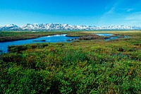 Willow thickets adorn Alaska´s Seward Peninsula, just below the Arctic Circle. The Kuzitrin mountain range is visible in the distance.