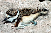 Killdeer (Charadrius vociferus) chick. Hanna State Park, Florida.