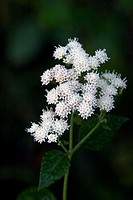 White snakeroot (Eupatorium rugosum), a poisonous herb. Photographed in the Baker wetlands, near Lawrence, Kansas.