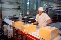 A worker puts blocks of cheese into plastic bags for vacuum sealing in a cheese factory.