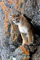 Mountain Lion (Felis concolor). Captive individual photographed in Montana.