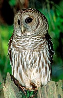 An adult Barred Owl (Strix varia), also known as the Hoot Owl, sitting in a tree in Duval County, Florida.