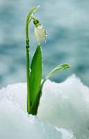 Snowdrop, Belgium, Galanthus, nivalis