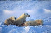 Ursus maritimus. Polar bear female with cubs. Churchill. Canada.