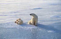 Ursus maritimus. Polar bear with cub. Churchill. Canada