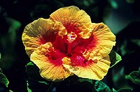 Close-up of red and yellow hibiscus among green leaves (thumbnail)
