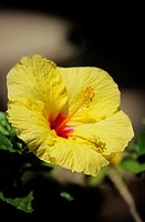 Close-up of yellow hibiscus with red center