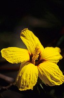 Close-up of yellow hibiscus with dark background