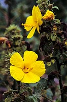 Closeup of two yellow hibiscus growing on plant