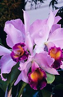 Close-up of purple cattleya orchids