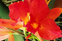 Close-up of red-orange cattleya orchids