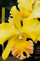 Close-up of yellow cattleya orchids