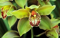 Close-up of green cimbidium orchid on plant
