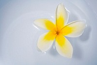 Hawaii, Yelow plumeria floating in a bowl of water, studio shot